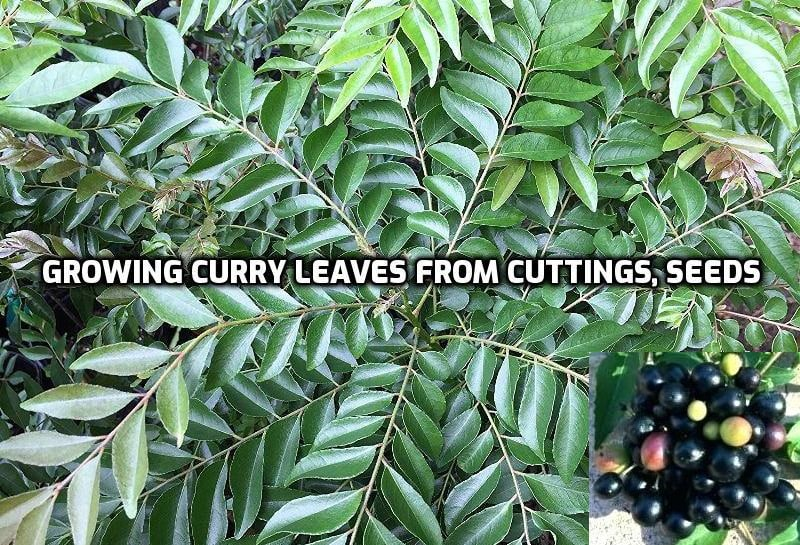 Growing Curry Leaf Plant From Cuttings Seed Kadi Patta